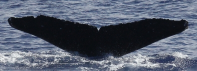 Whale MIMn-031 seen over Marpi Reef, near Saipan. Photo: NOAA Fisheries/Marie Hill