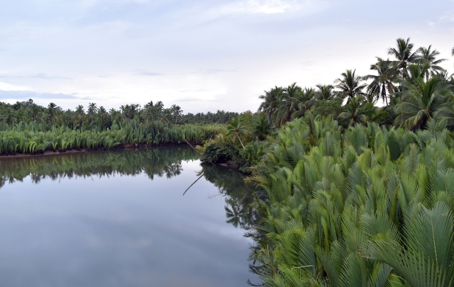 Abundance of Nipa palms in the wetland