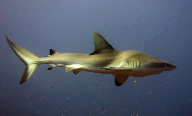 FIG7_shark