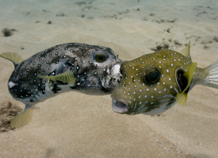 Two stripebelly puffers showing abnormal behaviors. Grey individual attacking green one. Note severe white skin lacerations on the right side of the mouth of the grey individual. Photos © Don McLeish (used by permission)