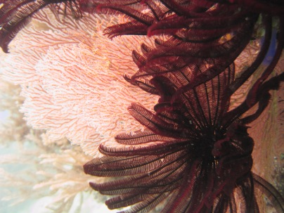 Crinoids and fan coral, Baucau, Timor-Leste (Photo: NOAA Fisheries/Kevin Lino).