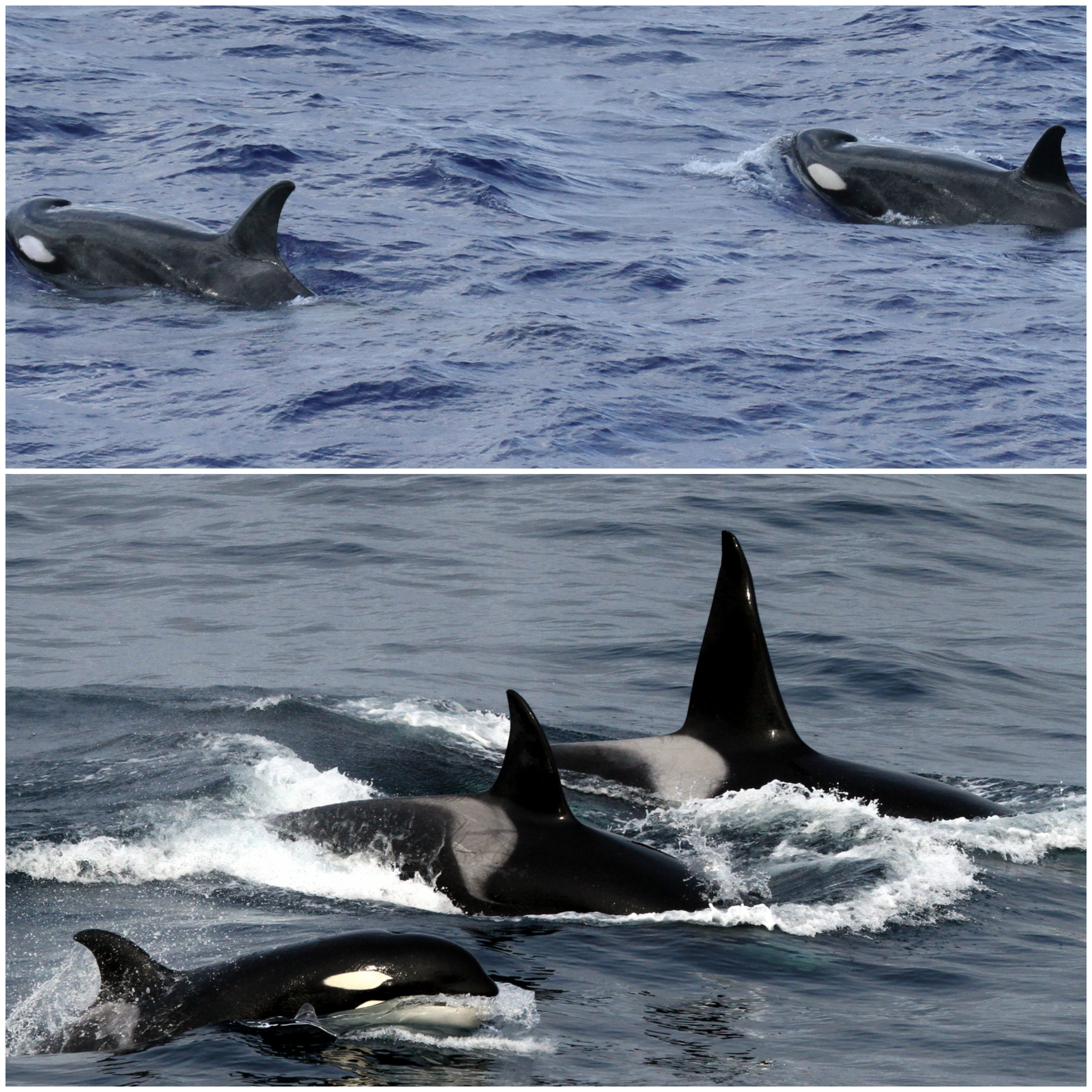hiceas u201chilite u201d killer whales in the tropics noaa pacific
