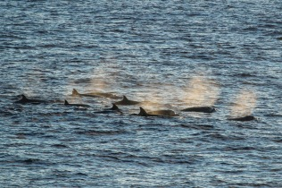 Longman's beaked whales sighted near the Sette at sunset. Photo credit: NOAA Fisheries/Joe Fader