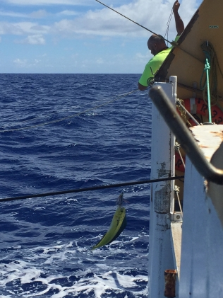 Lead Fisherman Dunlap brings in a mahi-mahi from the stern of the Sette. Photo credit: NOAA Fisheries/Ali Bayless