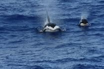 Killer whales, one of 14 cetacean species seen during HICEAS leg 1 aboard the Sette. Photo credit: NOAA Fisheries/Adam Ü