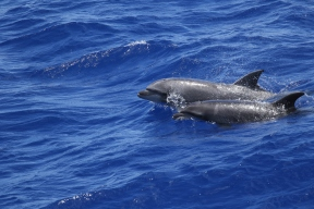Bottlenose dolphins, one of 14 cetacean species seen during HICEAS leg 1 aboard the Sette. Photo credit: NOAA Fisheries/Amy Van Cise