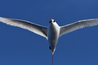 Red-tailed tropicbird, one of 35 seabird species seen during HICEAS leg 1 aboard the Sette. Photo credit: NOAA Fisheries/Adam Ü