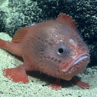 The Mysterious Identity of the Bright-Red Sea Toad