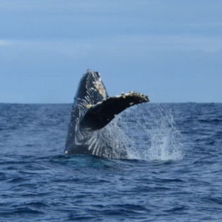 Humpback whale sighted near the Northwestern Hawaiian Islands. Photo credit: NOAA Fisheries/Christopher Hoefer