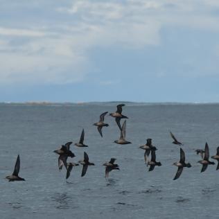 A flock of migrating Short-tailed Shearwaters. Photo credit: NOAA Fisheries/Adam Ü