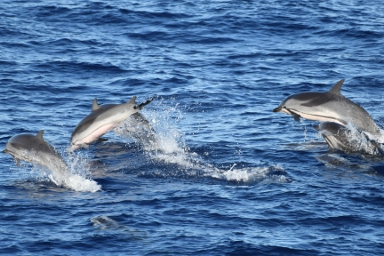 Striped dolphins, the most frequently sighted cetacean during HICEAS Sette Leg 2. Photo credit: NOAA Fisheries/Adam Ü