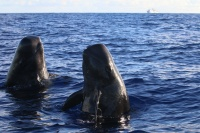 Short-finned pilot whales spyhop near the small boat, while the Sette waits in the distance. Photo credit: NOAA Fisheries/Paula Olson