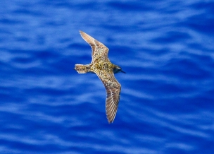 A Pacific Golden Plover, one of 35 seabird species seen during Sette Leg 2. Photo credit: NOAA Fisheries/ Christopher Hoefer