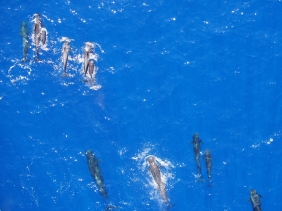 "A ""bird's eye"" view of short-finned pilot whales, including two mothers accompanied by young calves. Photo credit: NOAA Fisheries/Rory Driskell and Amanda Bradford"