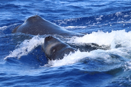 A female sperm whale and her calf. Photo credit: NOAA Fisheries/Mark Cotter