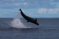 An acrobatic false killer whale. Photo credit: NOAA Fisheries/Mark Cotter