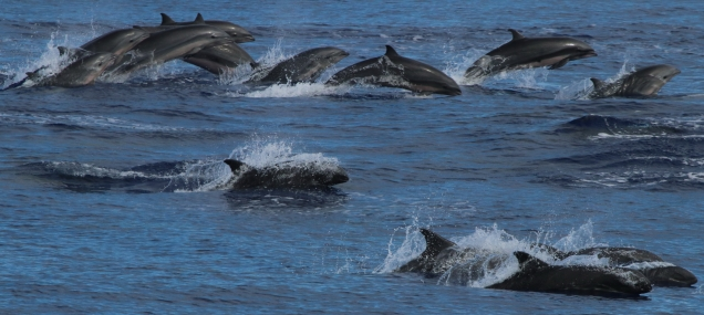 A mixed group of Fraser's dolphins (background) and melon-headed whales (foreground). Photo credit: NOAA Fisheries/Bernardo Alps