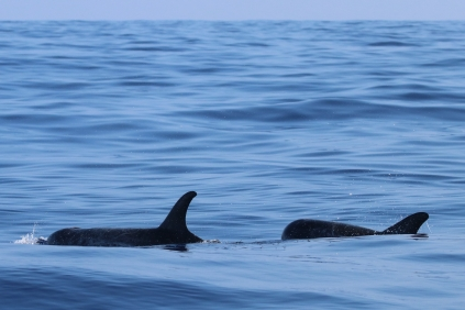 Risso's dolphins on a particularly calm day. Photo credit: NOAA Fisheries/Marie Hill