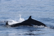 False killer whales, the priority species for HICEAS 2017. Photo credit: NOAA Fisheries/Bernardo Alps