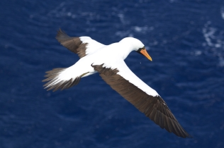 An adult male Nazca Booby seen 60 nautical miles north of Nihoa. Photo credit: NOAA Fisheries/Michael Force